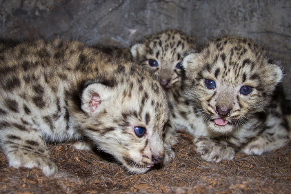 Nordic Ark baby snow leopards