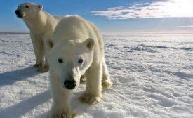 Milestone 2 Polar bears at camera PBI.jpg