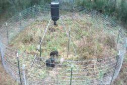 Wild Hogs and Remote Cameras